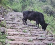 und diesmal eine Berg-Kuh